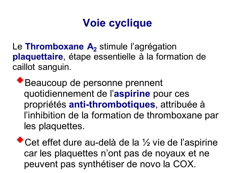 Voie cyclique Le Thromboxane A2 stimule l'agrégation plaquettaire, étape essentielle à la formation de caillot sanguin.