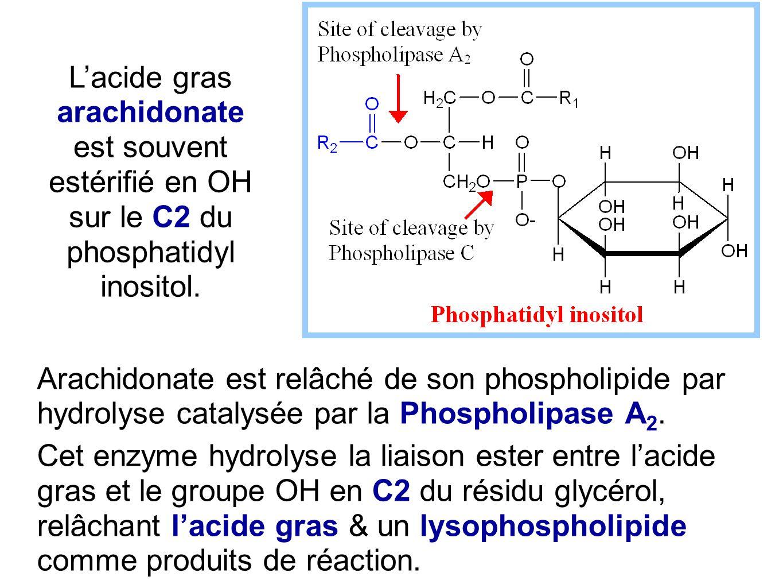 L'acide gras arachidonate est souvent estérifié en OH sur le C2 du phosphatidyl inositol.