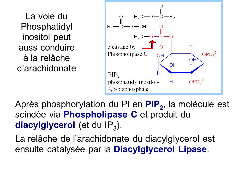 La voie du Phosphatidyl inositol peut auss conduire à la relâche d'arachidonate