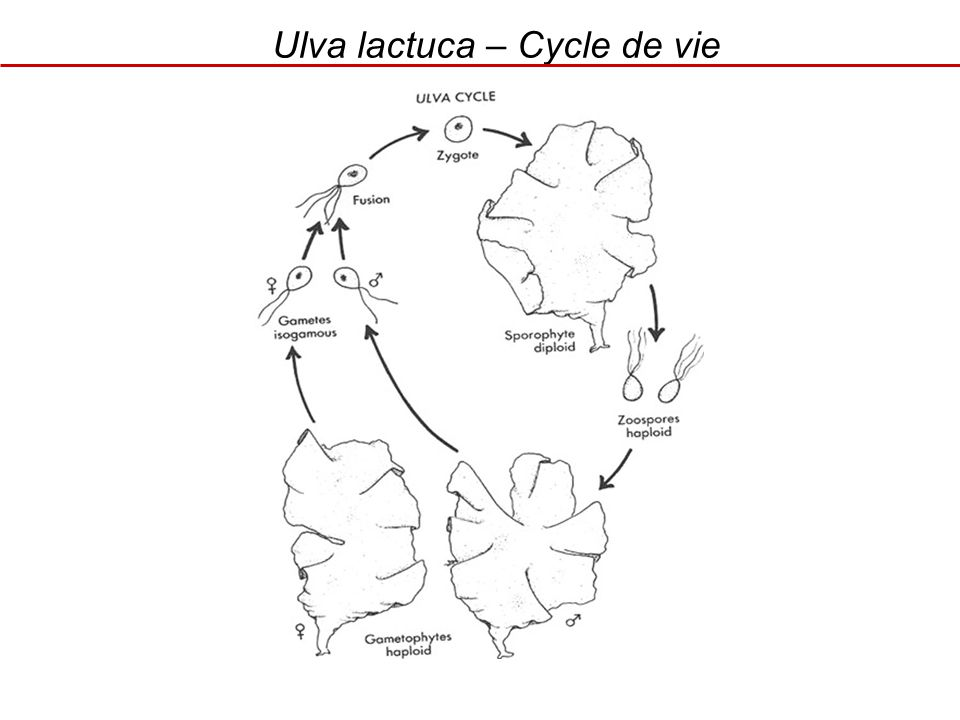 Ulva lactuca – Cycle de vie