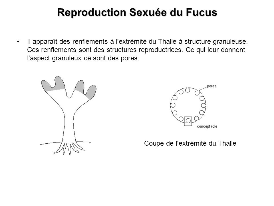 Reproduction Sexuée du Fucus