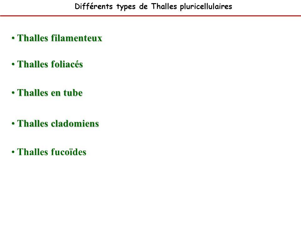 Thalles filamenteux Thalles foliacés Thalles en tube