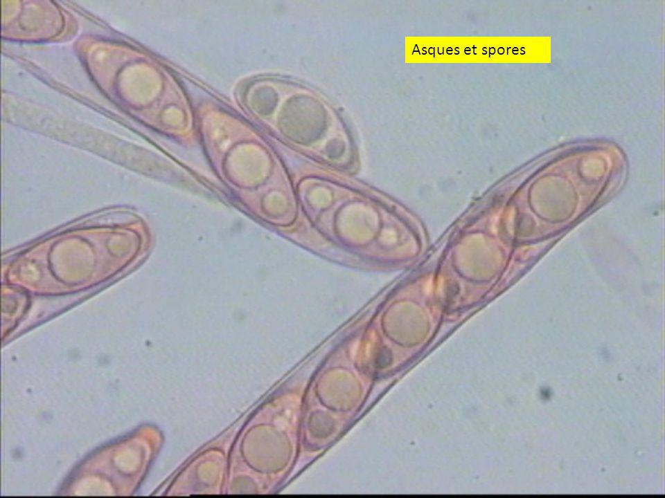 2828 Asques et spores