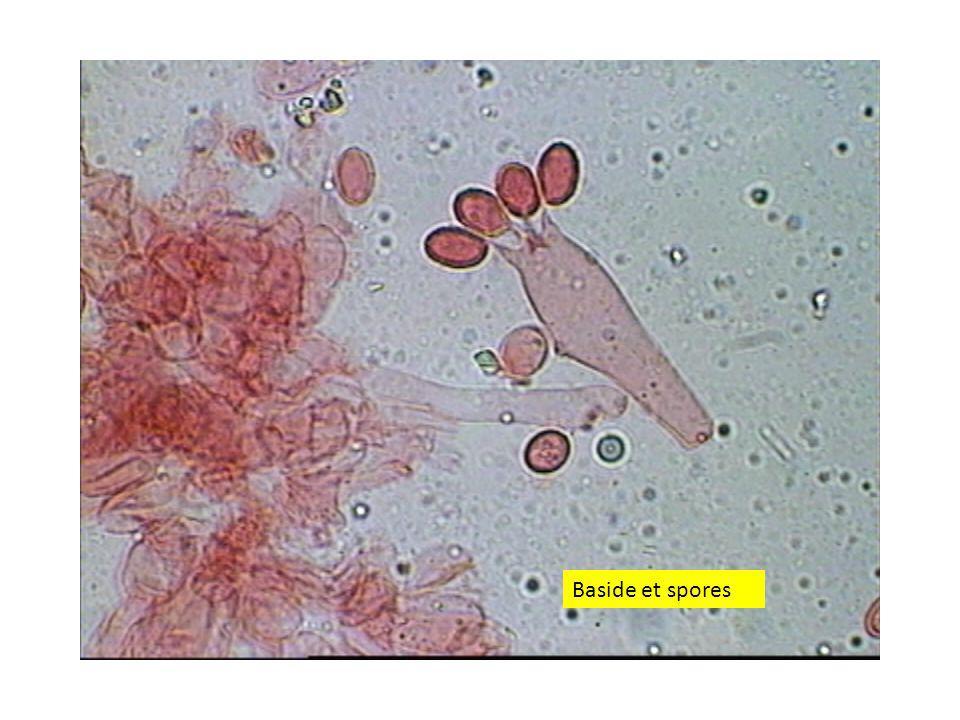3838 Baside et spores