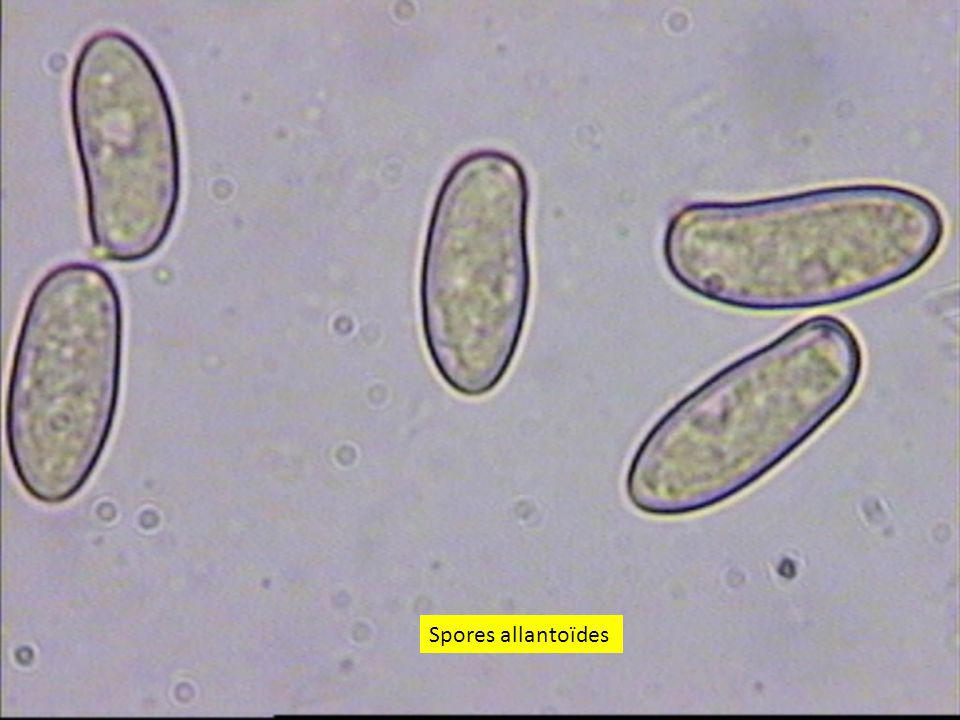 4040 Spores allantoïdes