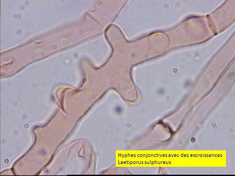 5353 Hyphes conjonctives avec des excroissances Laetiporus sulphureus