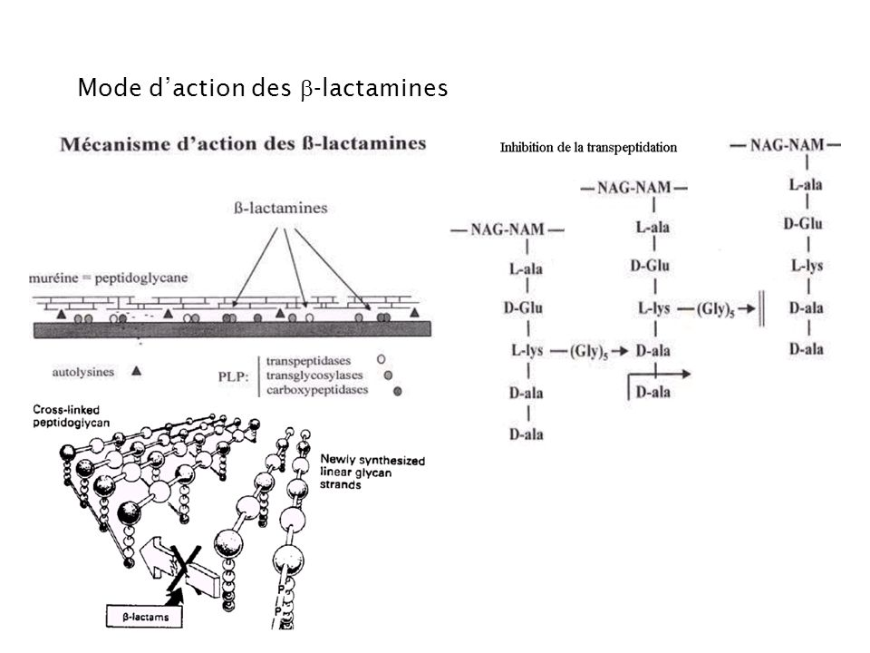 Mode d'action des b-lactamines