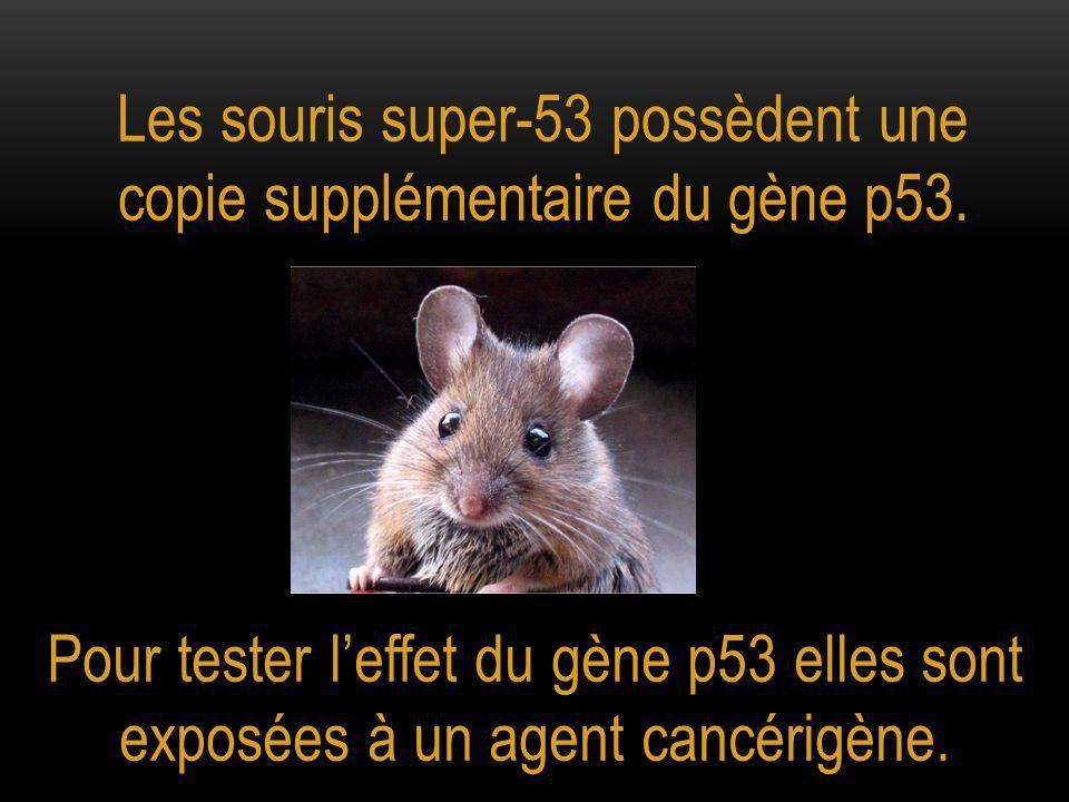 Les souris super-53 possèdent une copie supplémentaire du gène p53.
