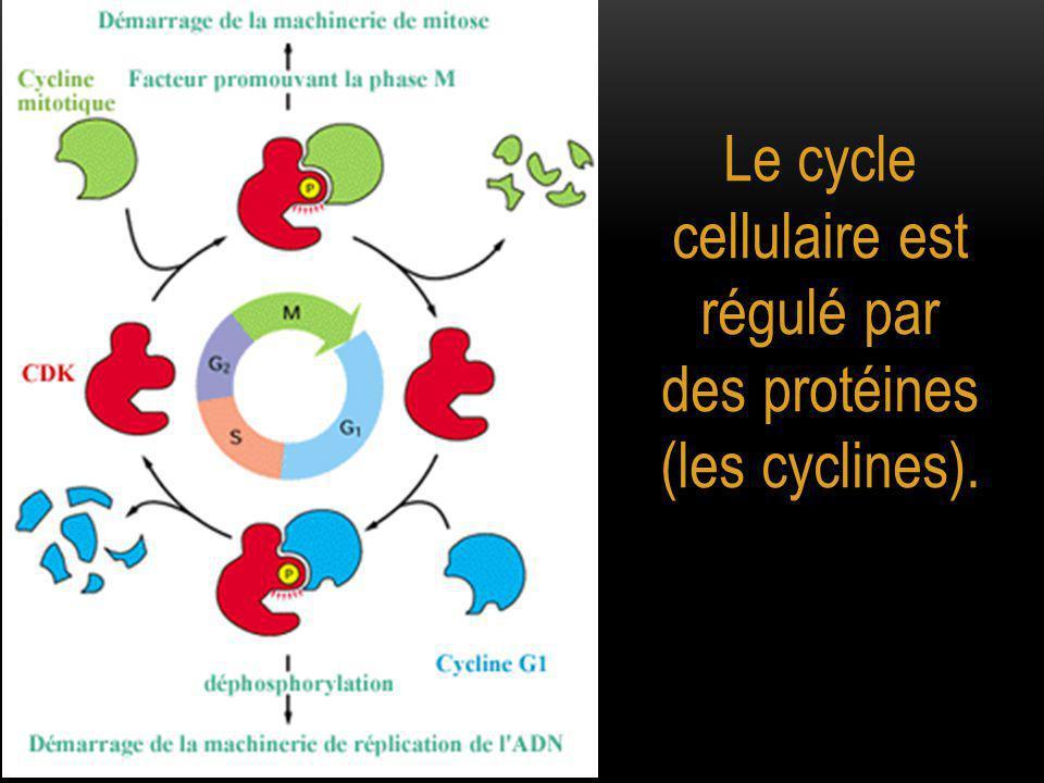 Le cycle cellulaire est régulé par des protéines (les cyclines).