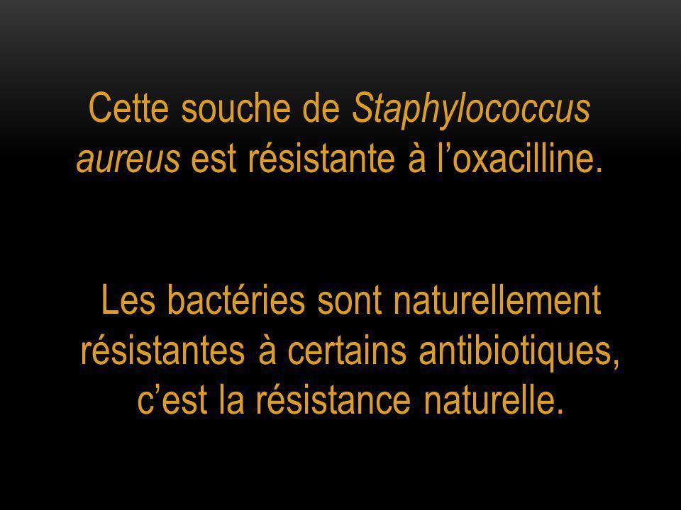 Cette souche de Staphylococcus aureus est résistante à l'oxacilline.