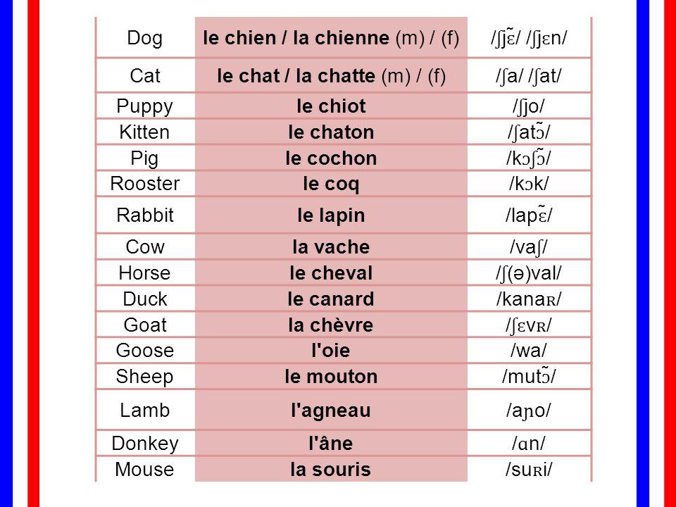 le chien / la chienne (m) / (f) /ʃjɛ̃/ /ʃjɛn/ Cat