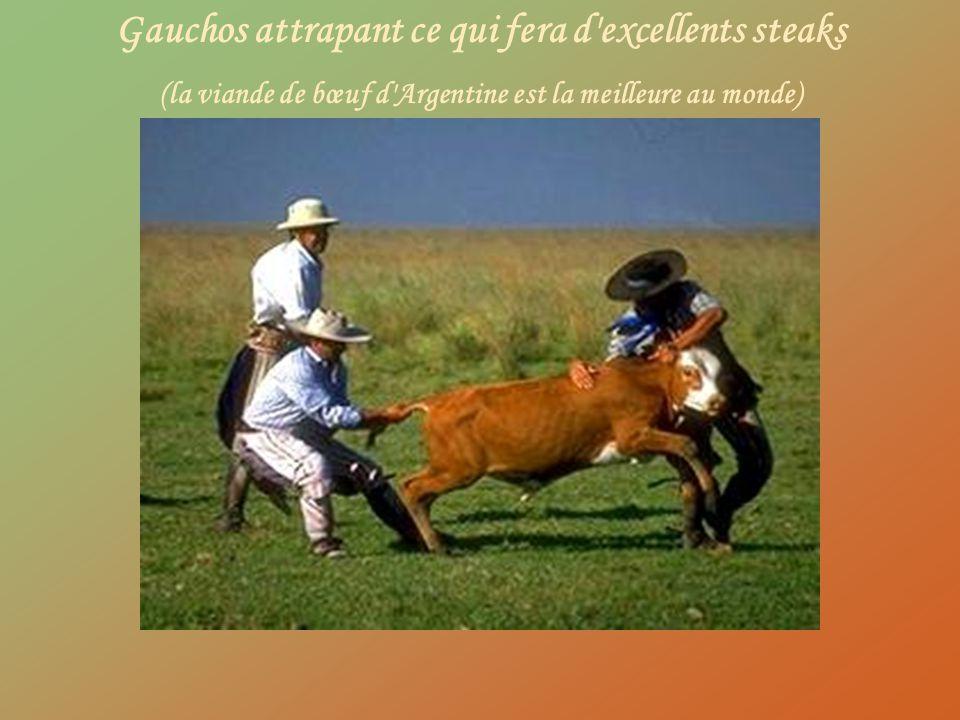 Gauchos attrapant ce qui fera d excellents steaks
