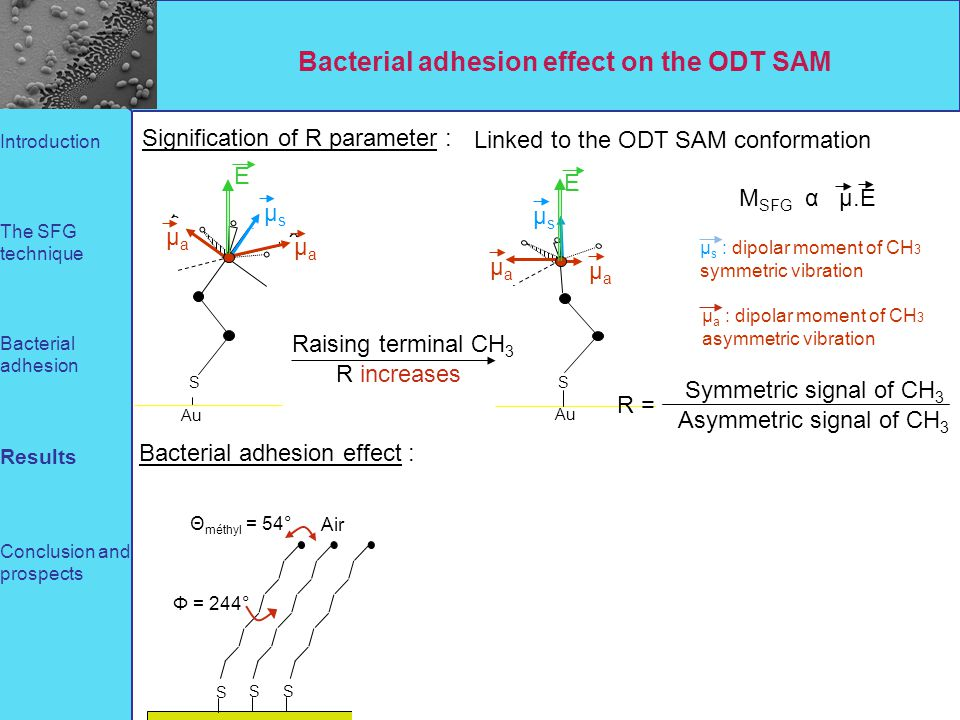 Bacterial adhesion effect on the ODT SAM