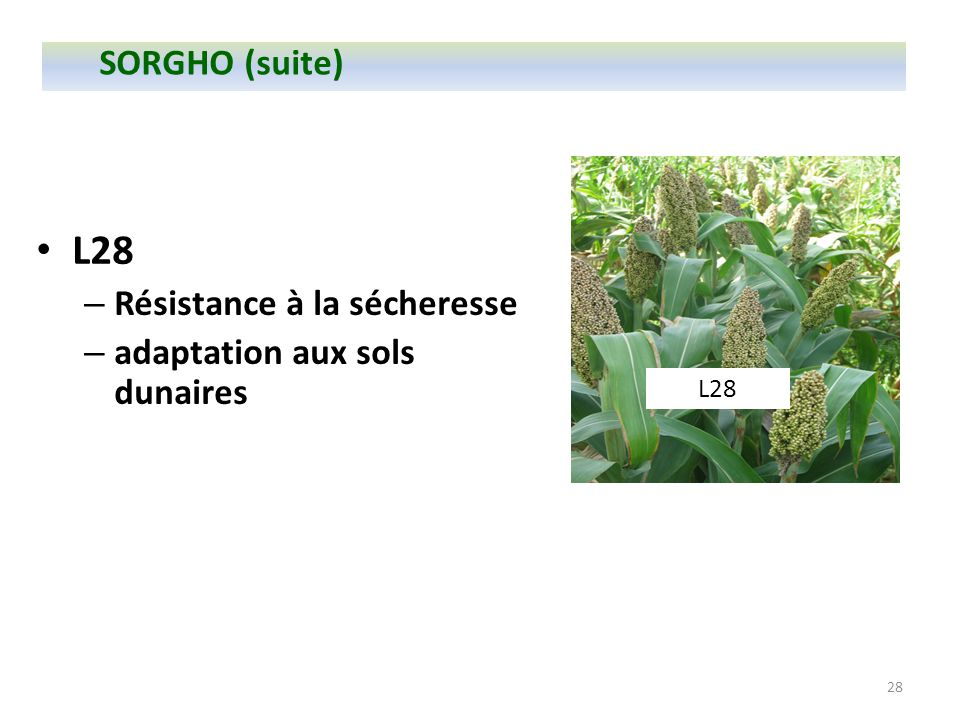 L28 SORGHO (suite) Résistance à la sécheresse