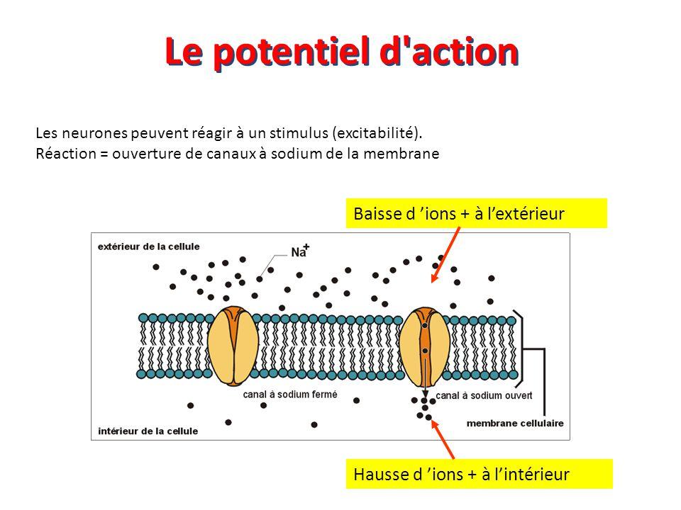 Le potentiel d action Baisse d 'ions + à l'extérieur