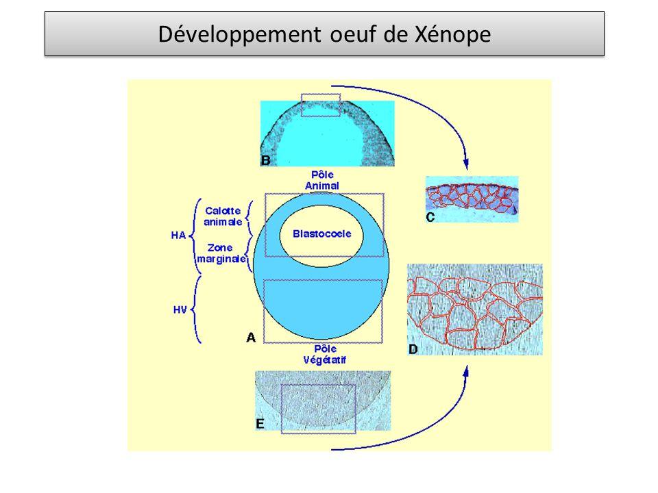 Développement oeuf de Xénope