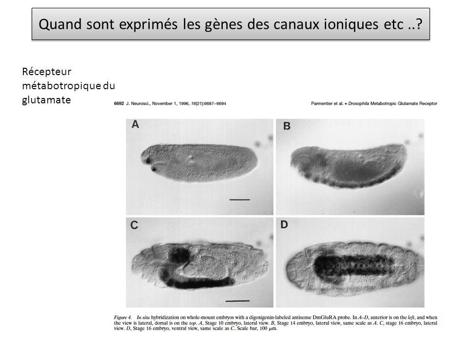 Quand sont exprimés les gènes des canaux ioniques etc ..