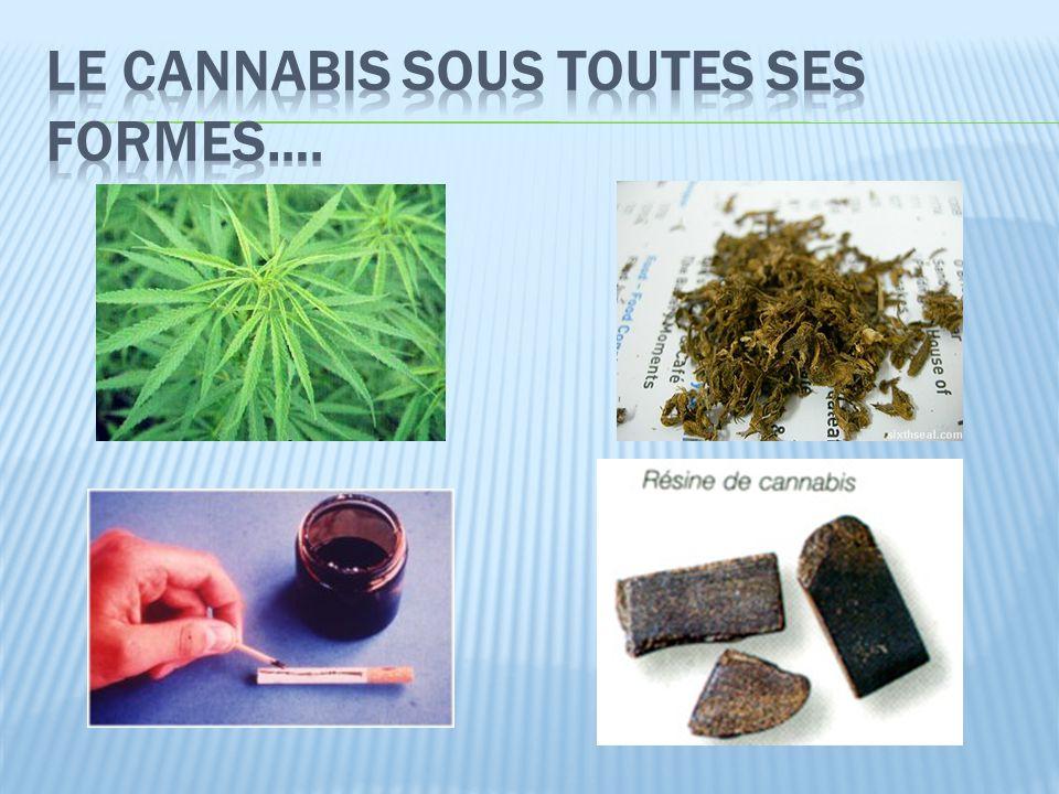 Le Cannabis sous toutes ses formes….