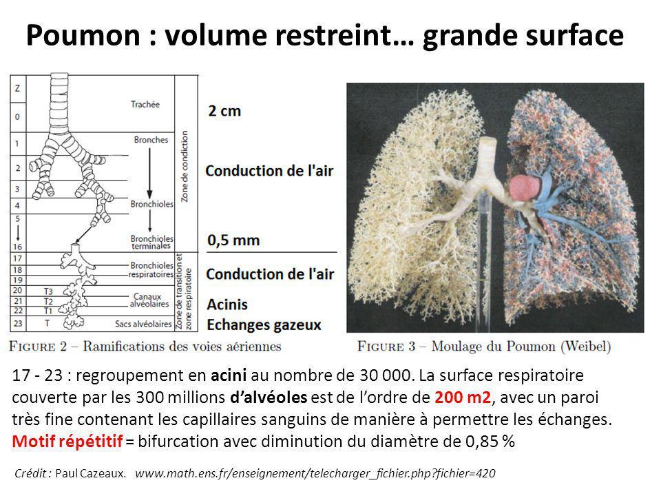 Poumon : volume restreint… grande surface