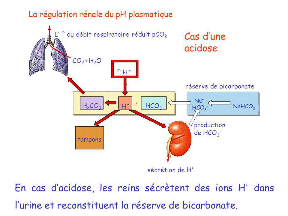 La régulation rénale du pH plasmatique