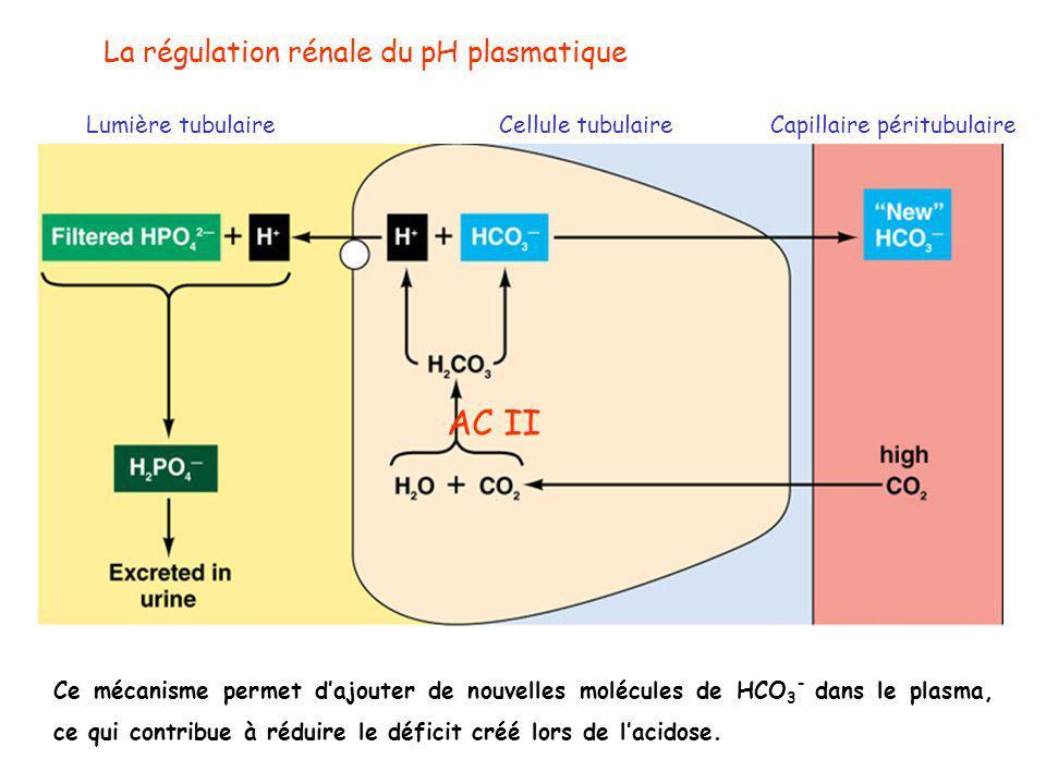 AC II La régulation rénale du pH plasmatique Lumière tubulaire