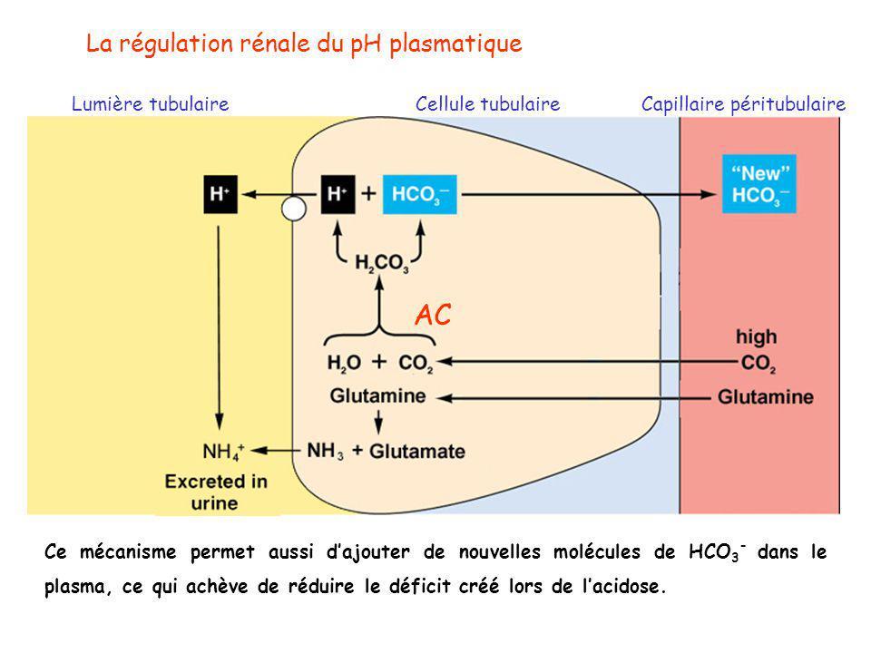 AC La régulation rénale du pH plasmatique Lumière tubulaire