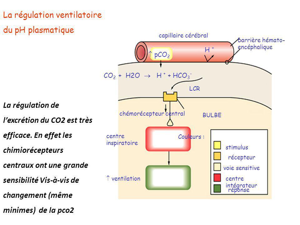 La régulation ventilatoire du pH plasmatique