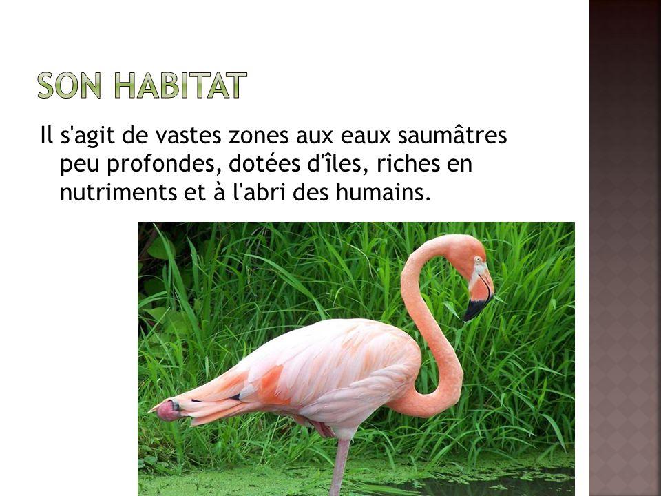 Son habitat Il s agit de vastes zones aux eaux saumâtres peu profondes, dotées d îles, riches en nutriments et à l abri des humains.
