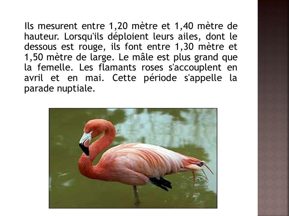 Ils mesurent entre 1,20 mètre et 1,40 mètre de hauteur