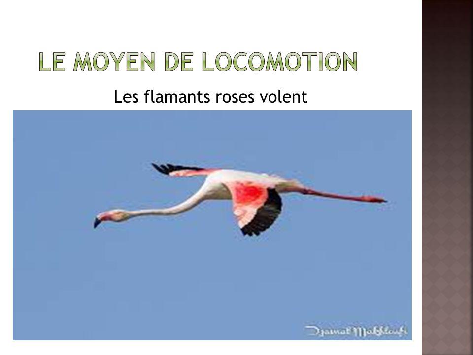 Les flamants roses volent