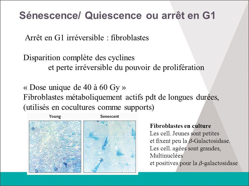 Sénescence/ Quiescence ou arrêt en G1