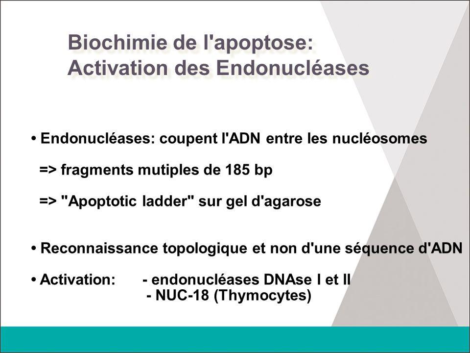 Biochimie de l apoptose: Activation des Endonucléases