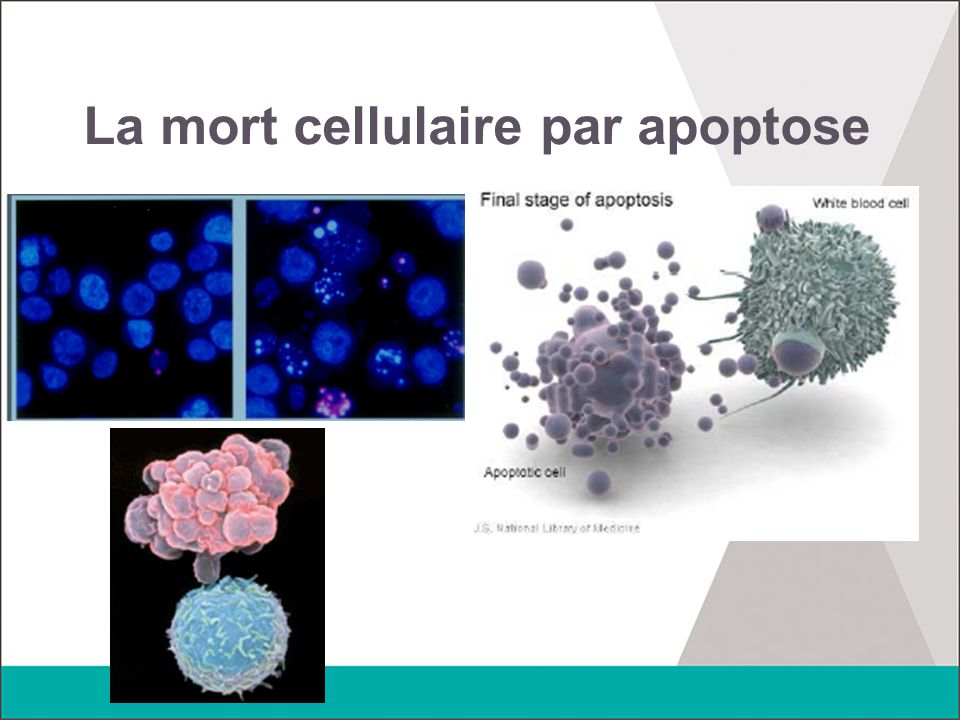 La mort cellulaire par apoptose
