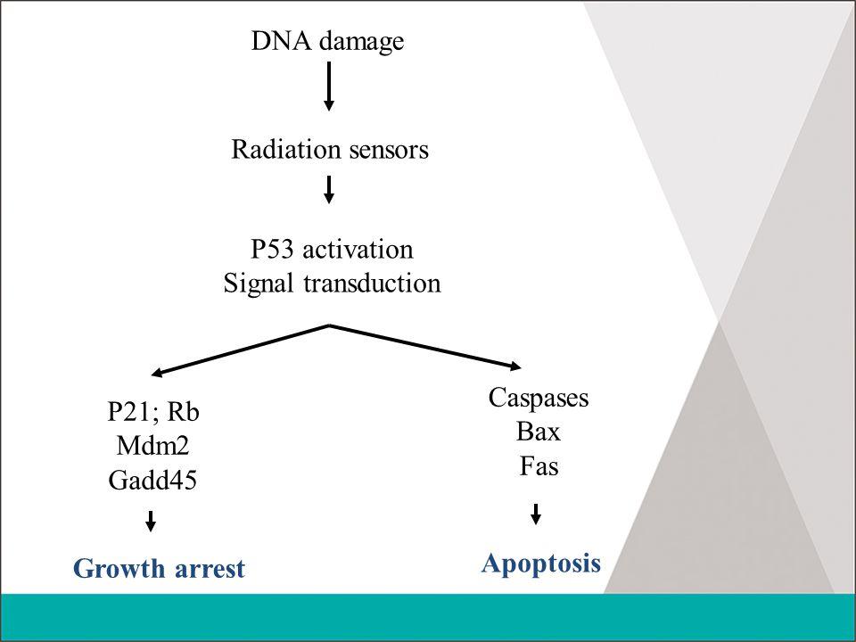 DNA damage Radiation sensors. P53 activation. Signal transduction. Caspases. Bax. Fas. P21; Rb.
