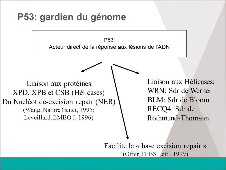 P53: gardien du génome Liaison aux Hélicases: Liaison aux protéines