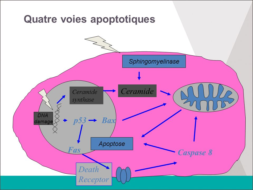 Quatre voies apoptotiques