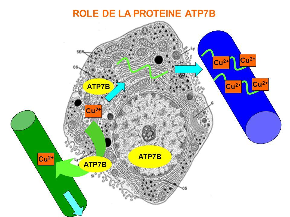 ROLE DE LA PROTEINE ATP7B
