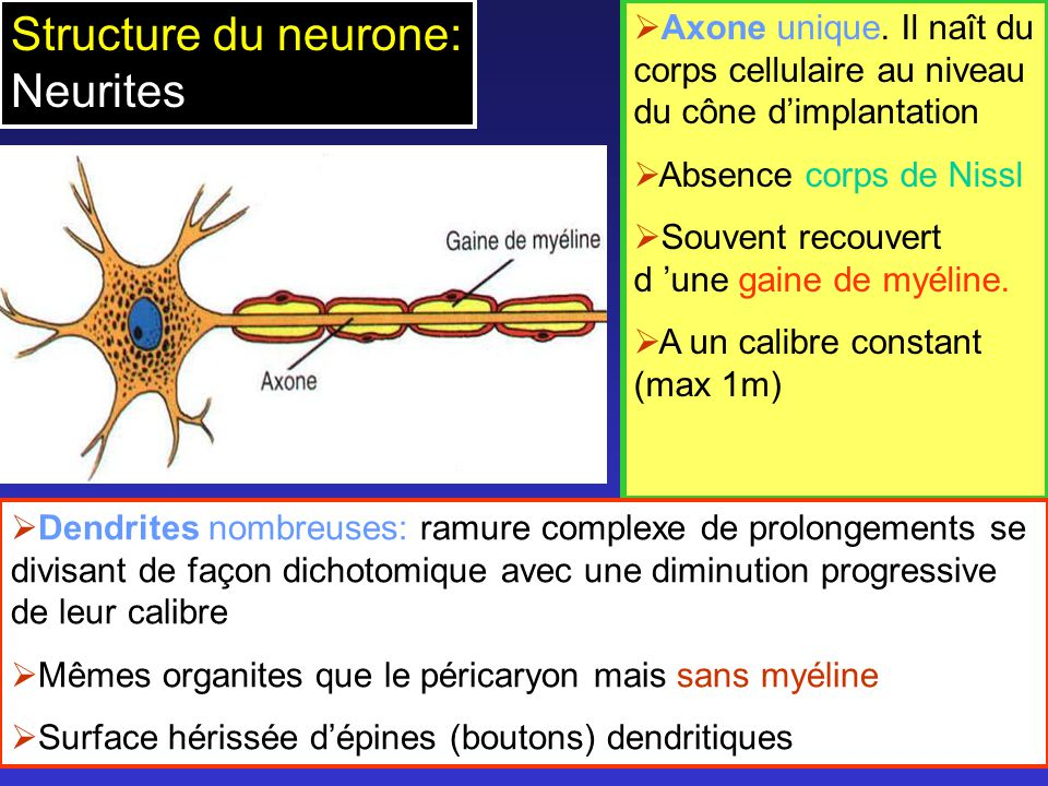 Structure du neurone: Neurites