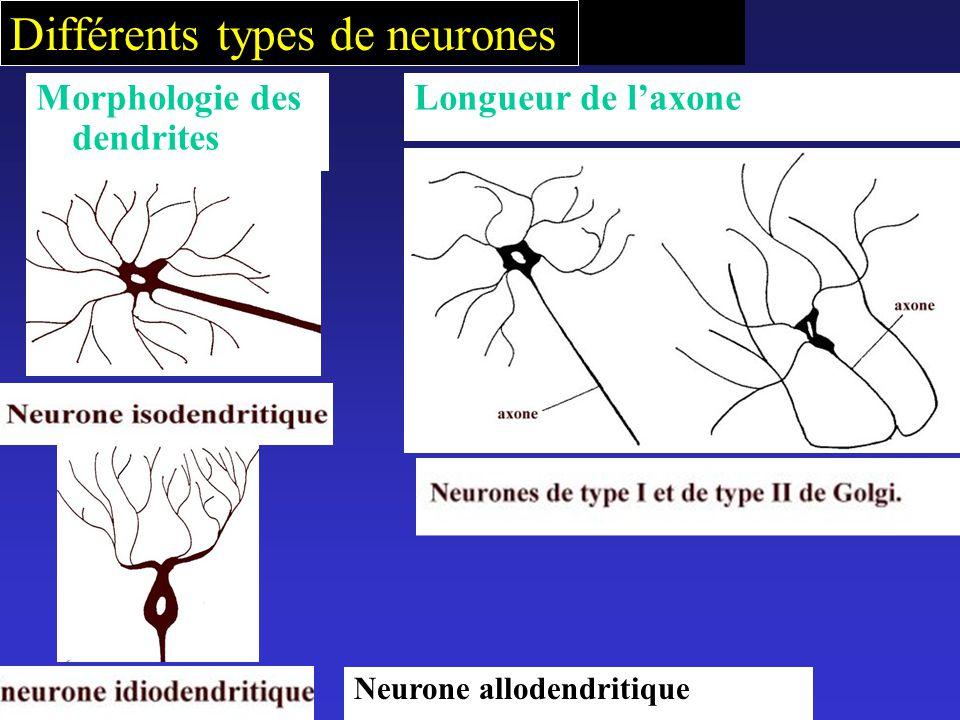 Différents types de neurones