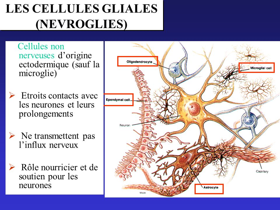 LES CELLULES GLIALES (NEVROGLIES)
