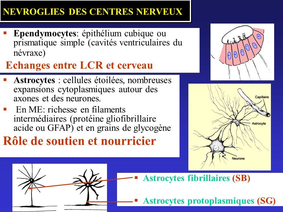 NEVROGLIES DES CENTRES NERVEUX