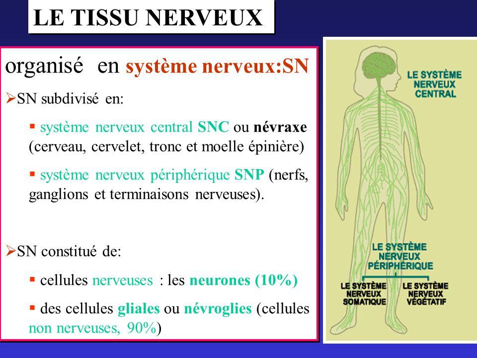 organisé en système nerveux:SN