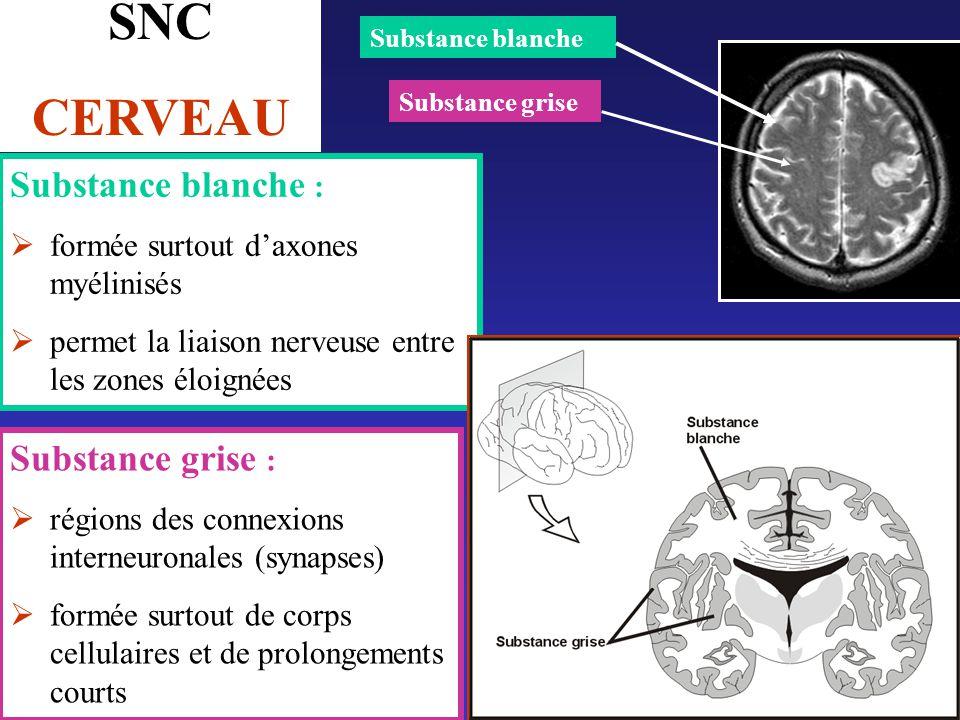SNC CERVEAU Substance blanche : Substance grise :
