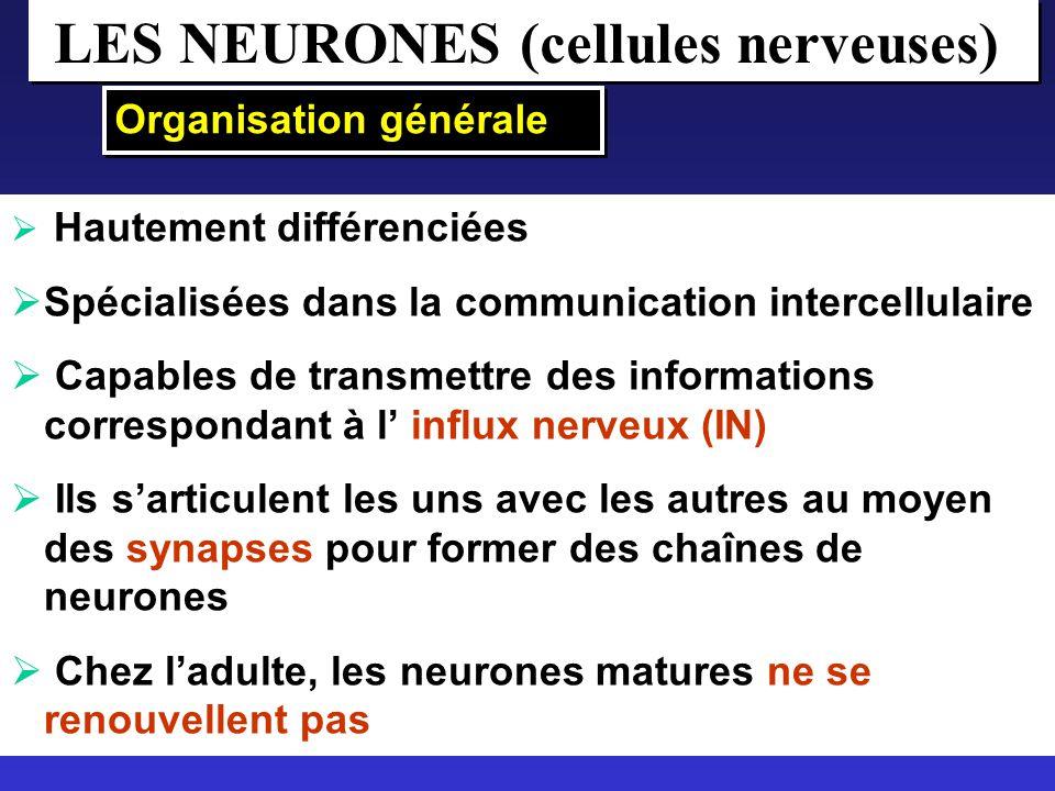 LES NEURONES (cellules nerveuses)
