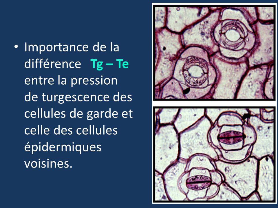 Importance de la différence Tg – Te entre la pression de turgescence des cellules de garde et celle des cellules épidermiques voisines.