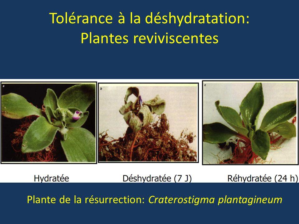 Tolérance à la déshydratation: Plantes reviviscentes