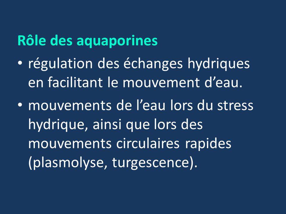 Rôle des aquaporines régulation des échanges hydriques en facilitant le mouvement d'eau.