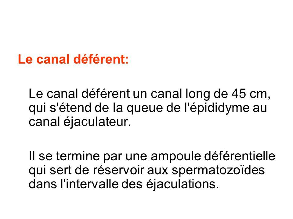 Le canal déférent: Le canal déférent un canal long de 45 cm, qui s étend de la queue de l épididyme au canal éjaculateur.