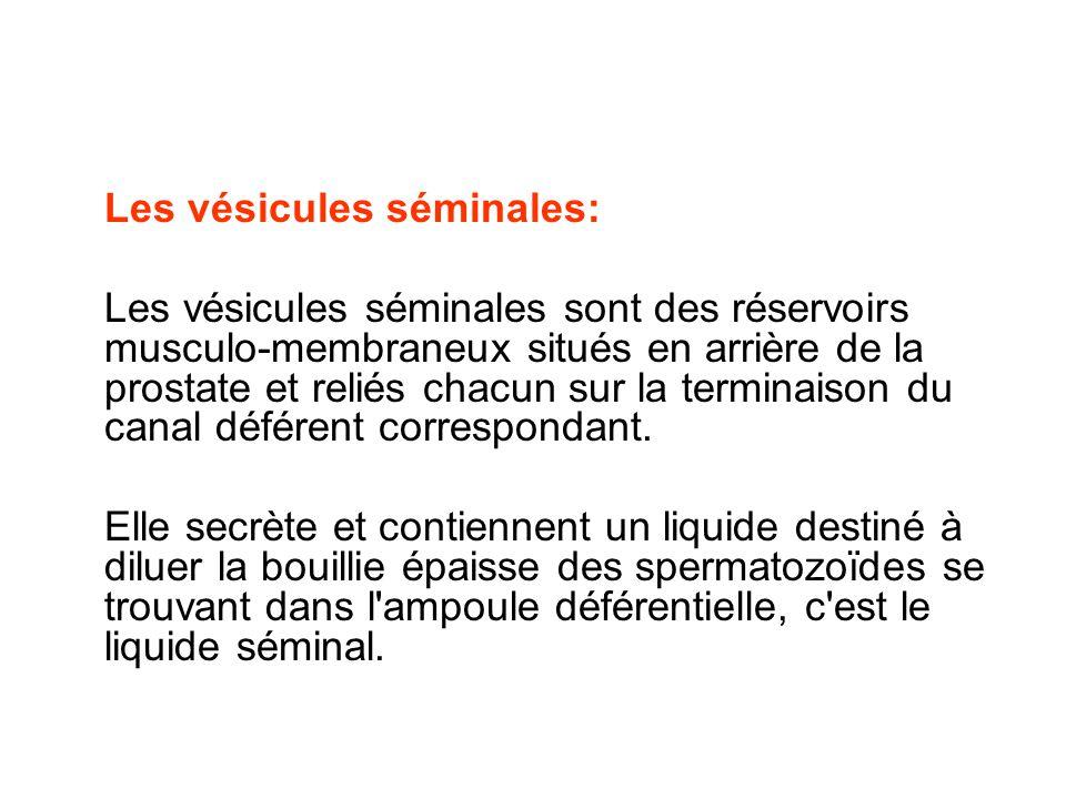 Les vésicules séminales: