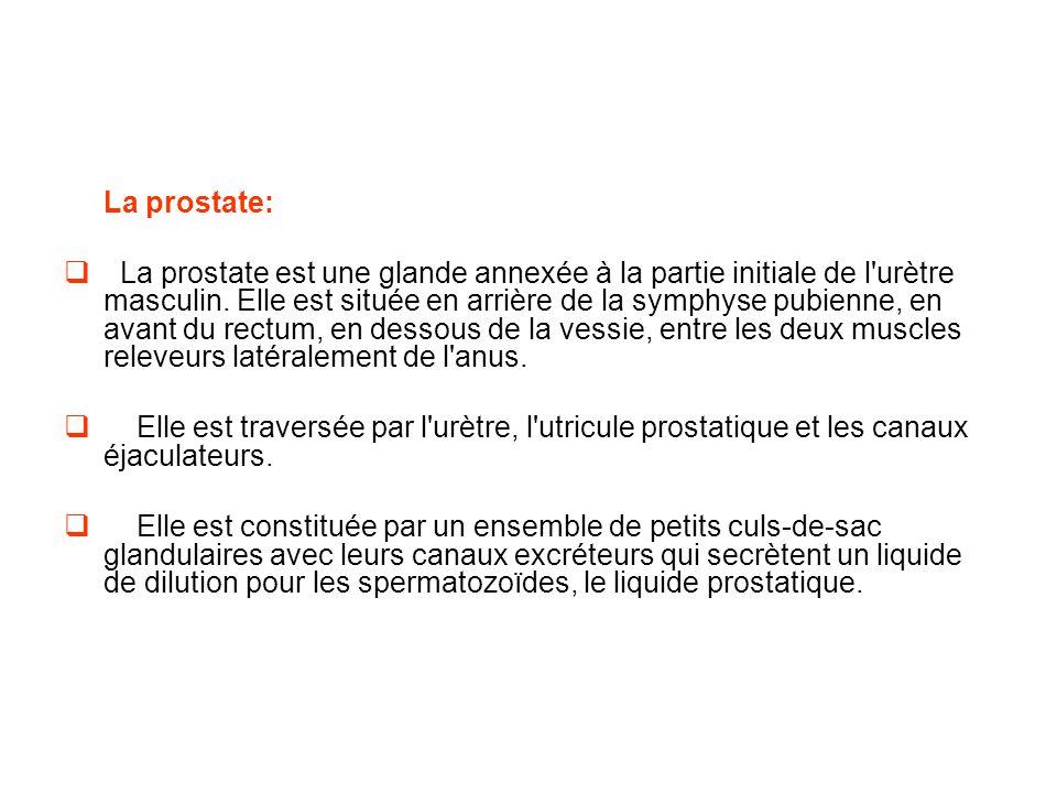 La prostate:
